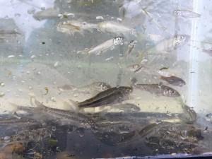 一度にこれだけの種数を採れる川は中々ない