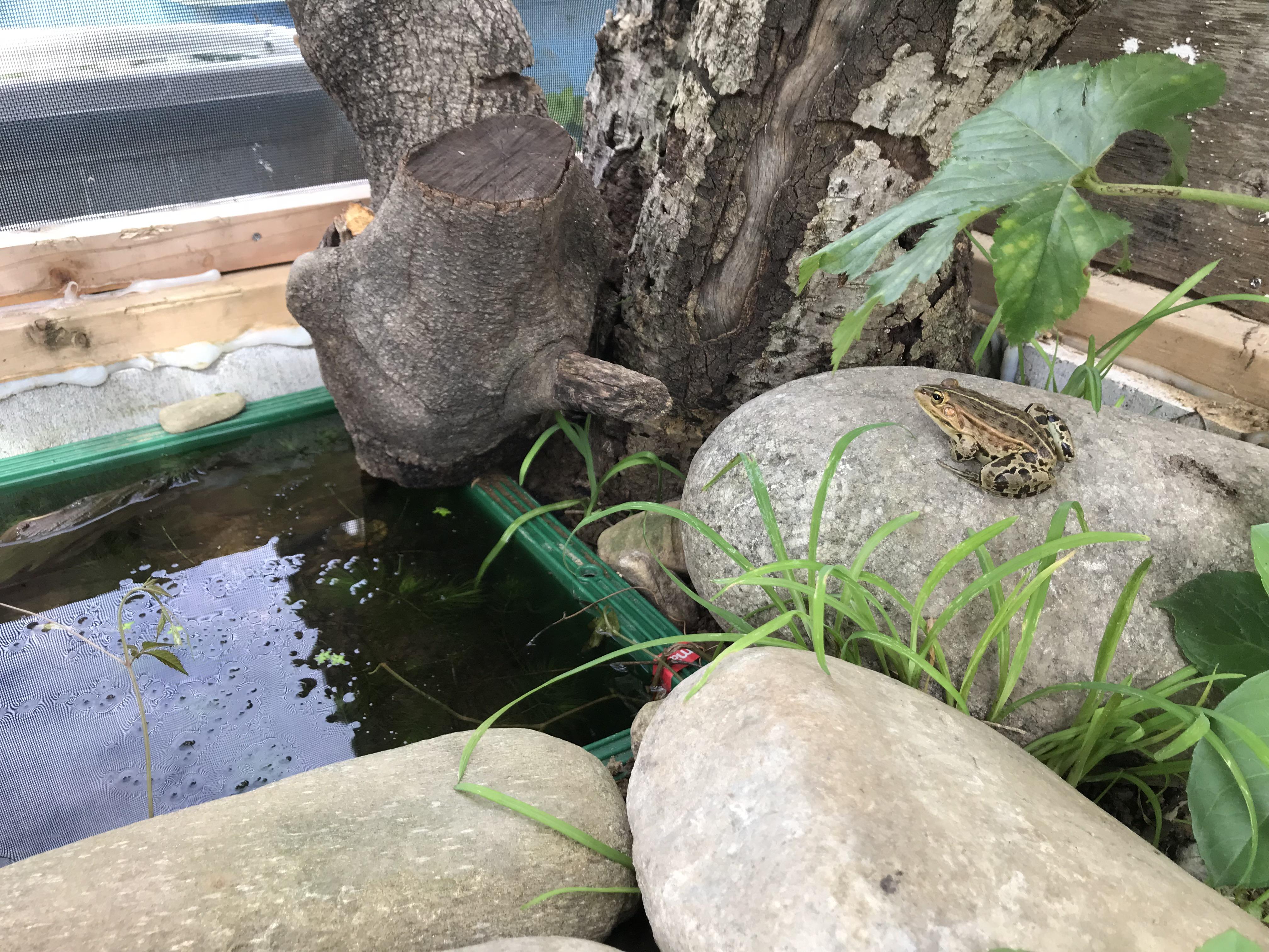 ツチガエル 飼育