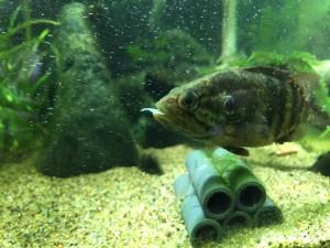 オヤニラミの口から何か出てるなーって思ったら、オイカワの稚魚が一匹いない。。
